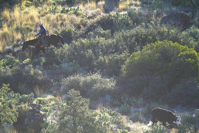 horseman moves down ridge to trail cow