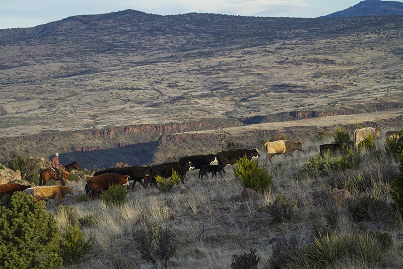 cows trailing through rugged country