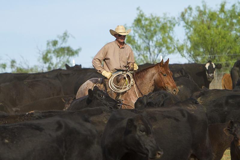 cowboy sorts through cattle herd