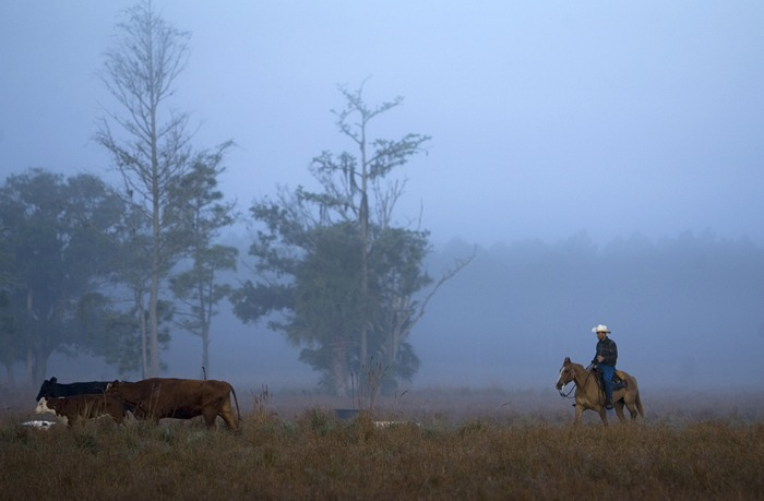 On the Deseret Ranch in Florida, Beau Anastasio drives cattle to the branding pens.