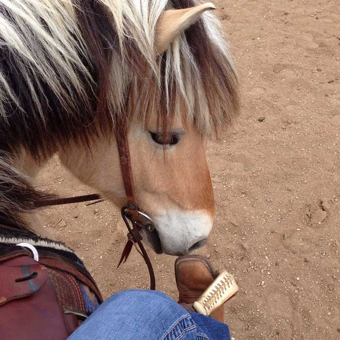 Freddie the Norwegian Fjord Horse noses his rider's boot at a Buster McLaury clinic.