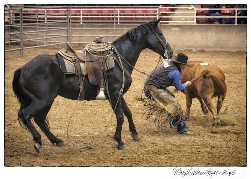 Cowboy tailing a calf