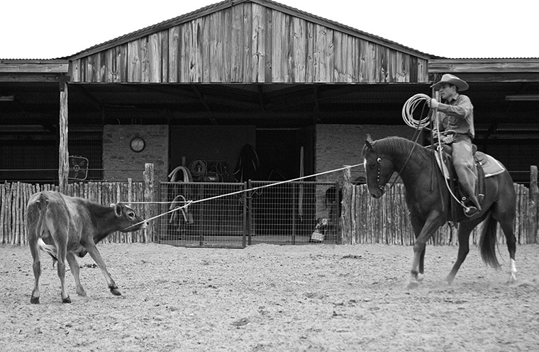 Once the cow stops and faces the horse, the knot rope slips off easily.