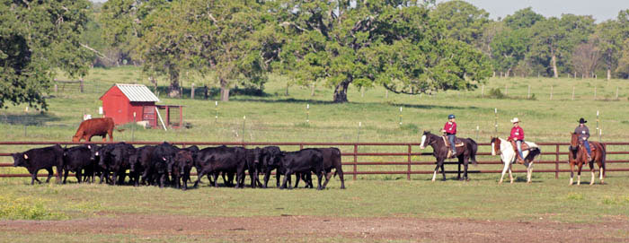 SCR cattle ak 203