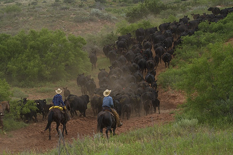 Adam Smith (left) and Riggin Johnson move cows and calves to a set of pens.