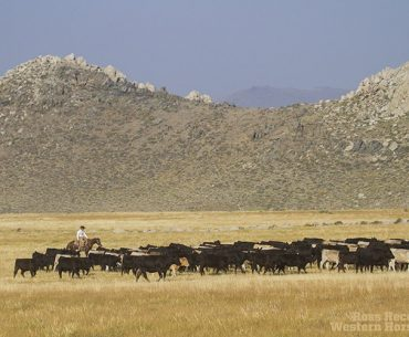 Nick Dowers moves a herd a cattle through a mountain pasture in eastern California.