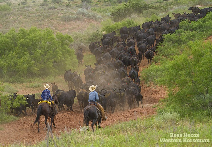 Honestly, photographing cowboys trailing cows is usually
