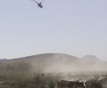 Chopper & cows