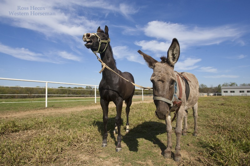 Donkey halter breaking a colt