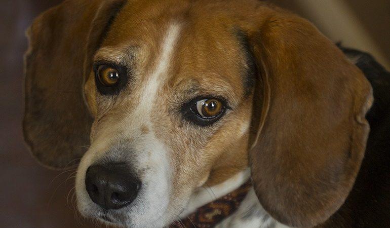 Kent Rollins beagle picture
