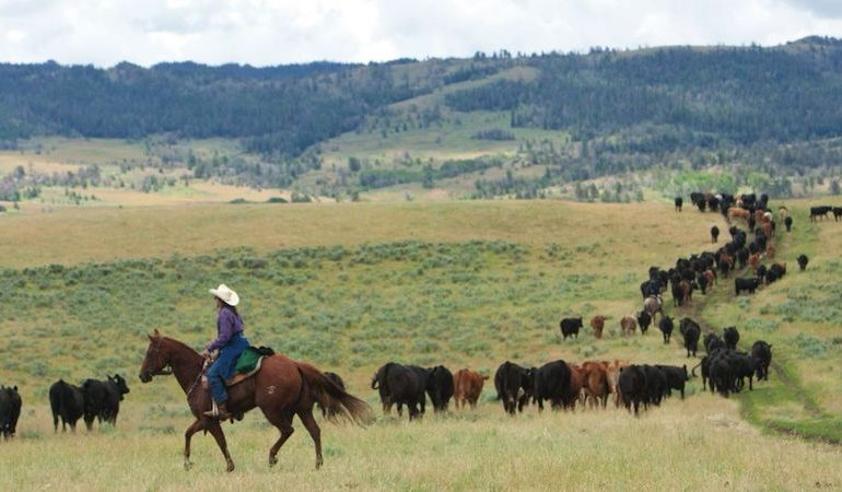 trailing cattle in the open range