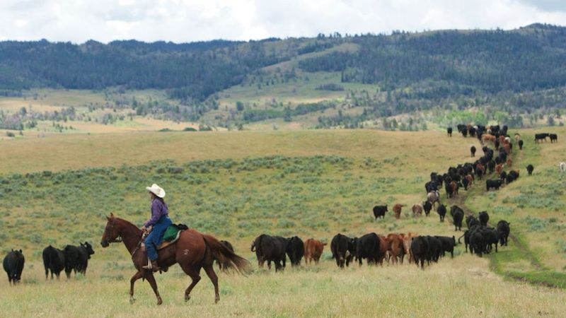 trailing cattle in the open range