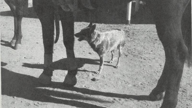 three-legged dog standing under horse
