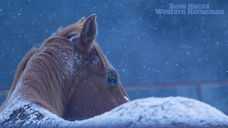 horse with snow on back
