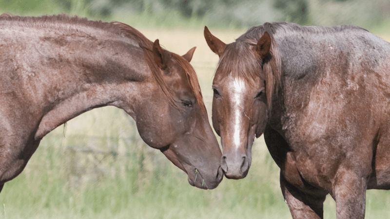 two horses touching noses in a field