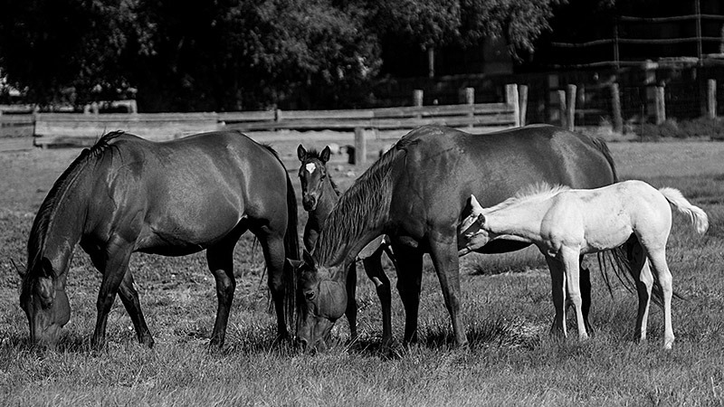 foals standing with mares in a field