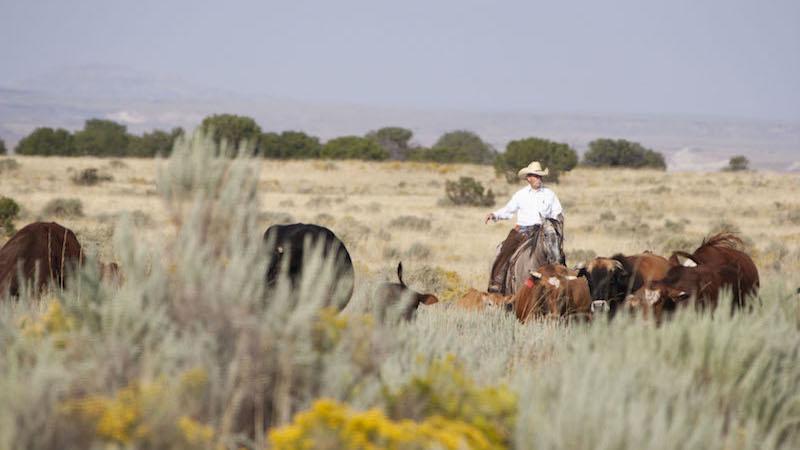 Jerry Winn gathering a herd of cattle for crossing railroad tracks