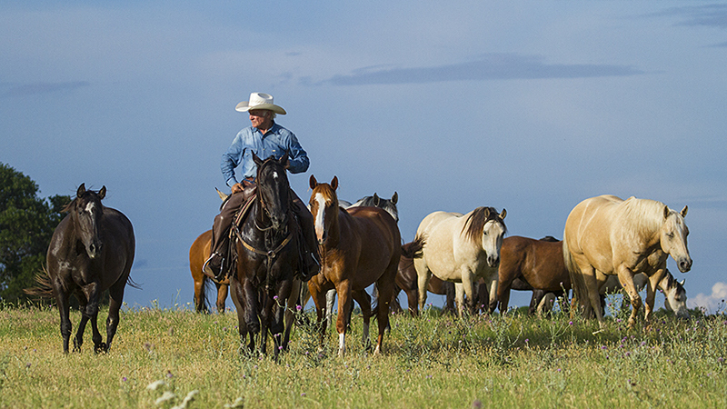 Larry Mahan leading horses through a pasture