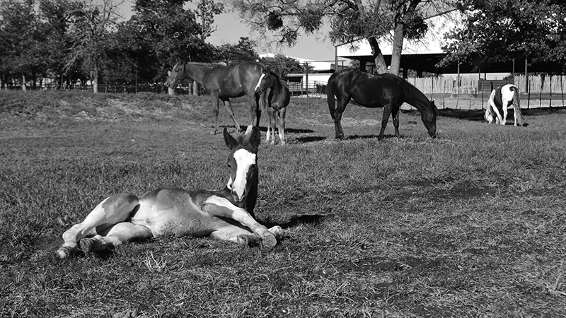 foal laying on ground