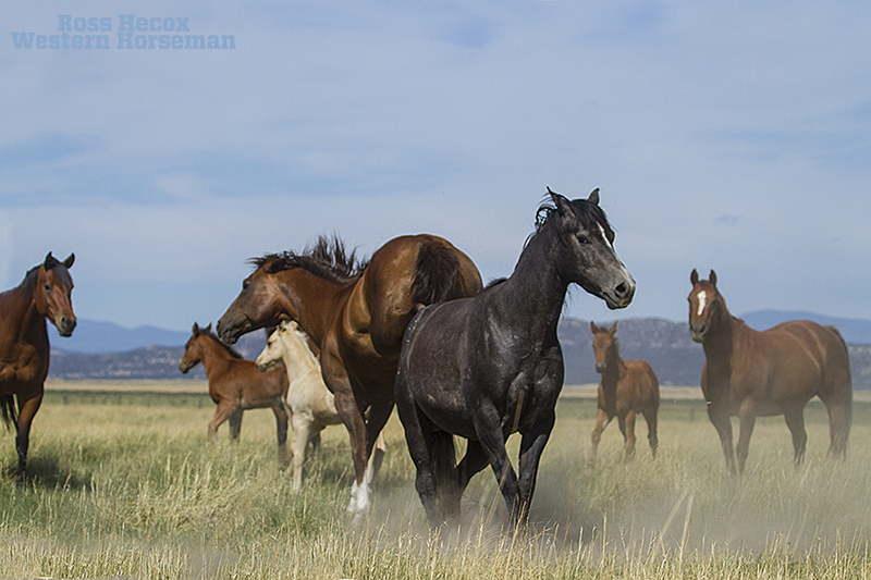 Broodmare kicks at another horse on the CS Ranch in New Mexico