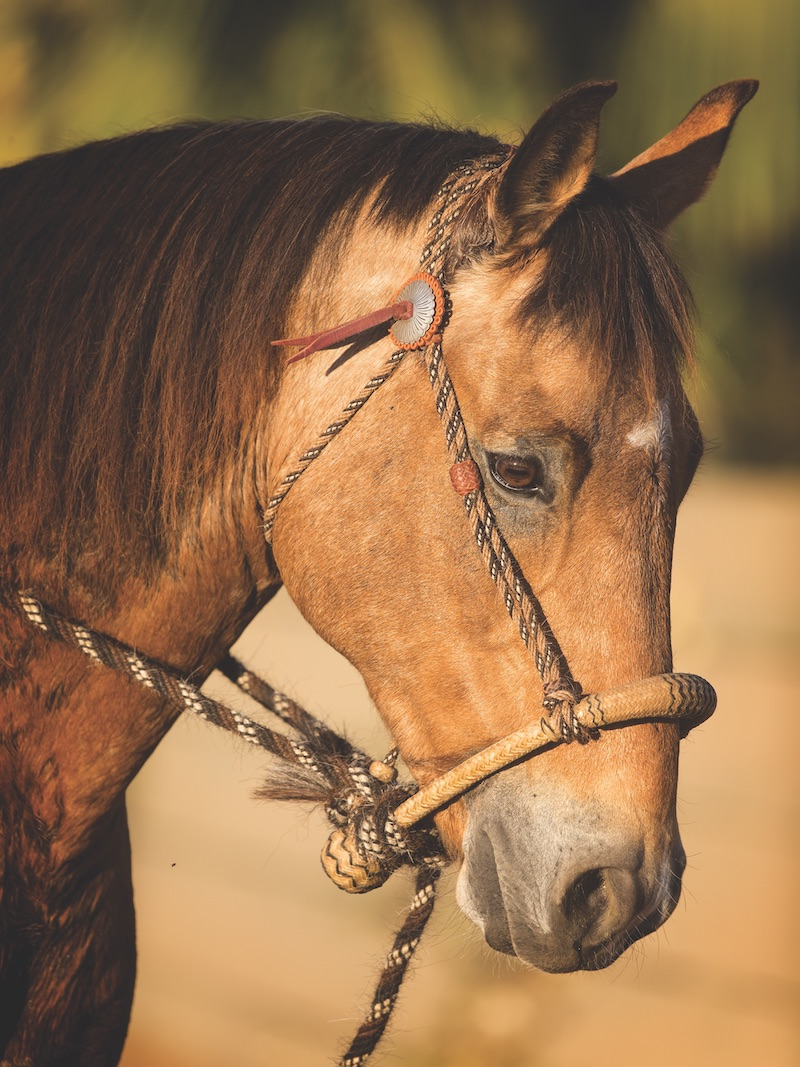 horse with a hackamore on