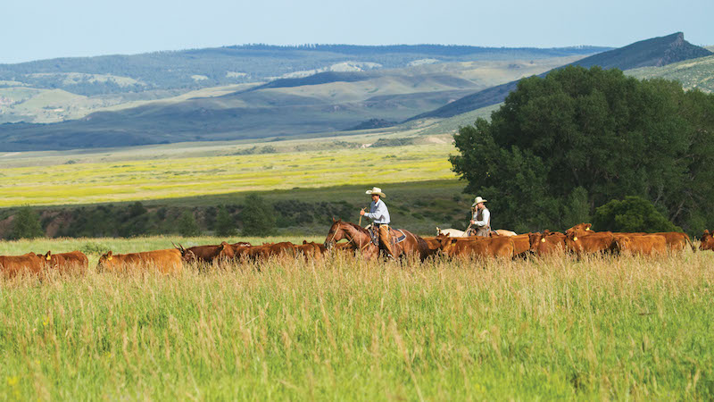 Matt Koch riding futurity prospects through cattle herd