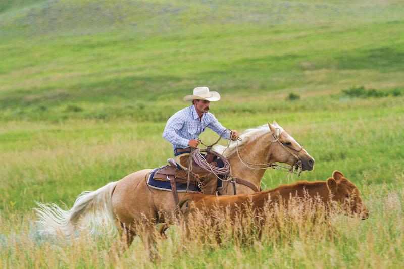 Matt Koch chasing cow on palomino horse