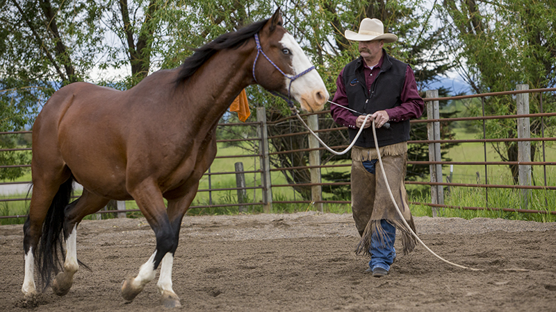 Horseman Jon Ensign practices groundwork with Paint horse