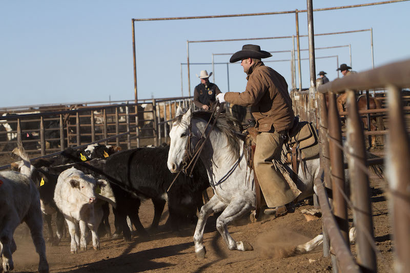 horseback rider cuts off cow while shipping cattle at the Sandhill Cattle Company