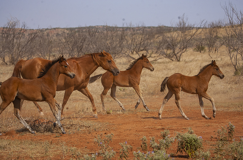 foals running on Beggs Ranch.