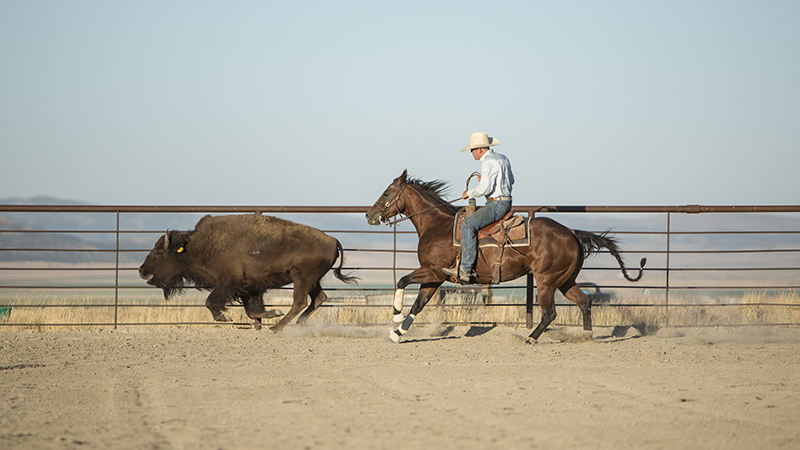Reined cow horse trainer Brandon Buttars uses buffalo instead of cattle.