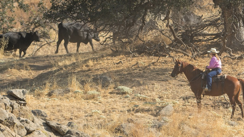 Buddy and Laurie Montes herding cattle up to higher range