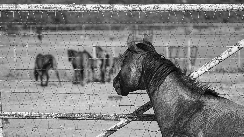 a horse with a fear of missing out as other horses are turned out
