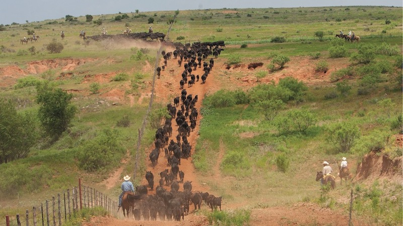 cattle trailing up a hill