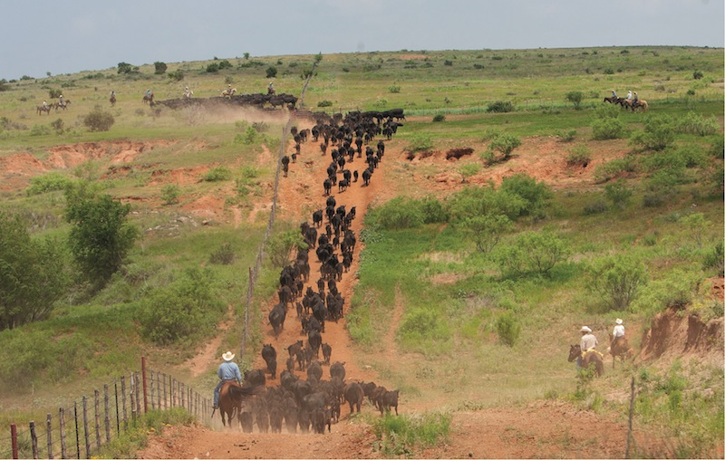cowboys trailing cattle