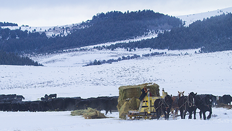 A four-up team of draft horses feed cattle in the snow on Castle Mountain Ranch in Montana