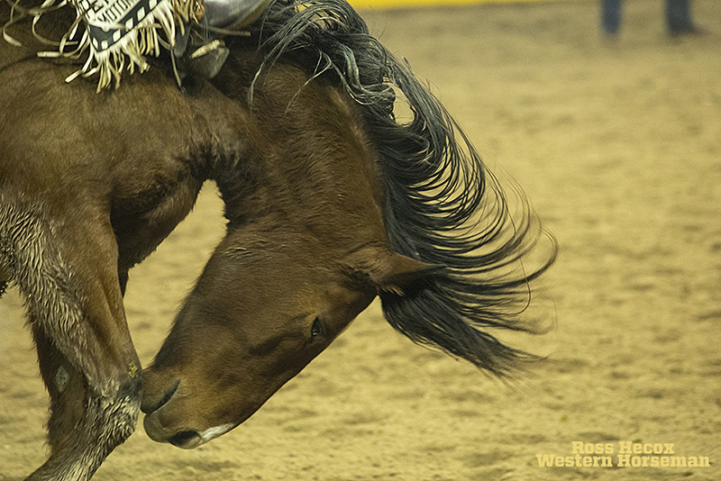 Bucking horse Big Show of Three Hills Rodeo bucked at the WNFR in 2019.