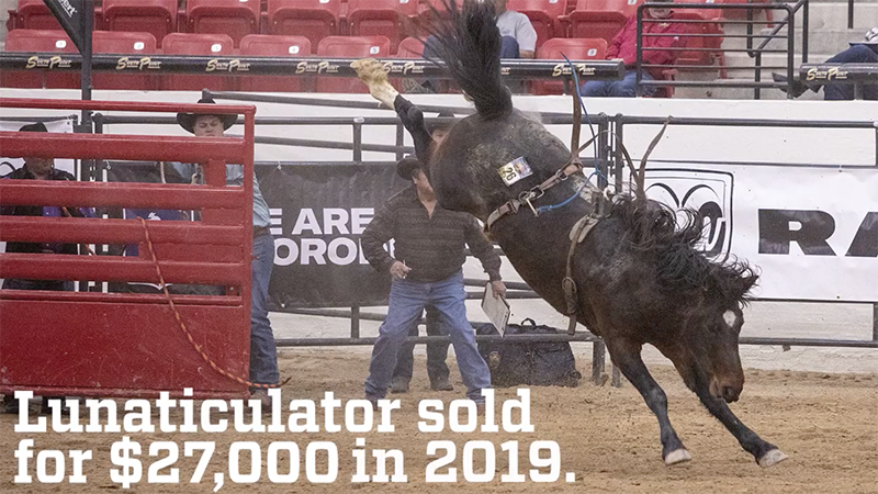 At the WNFR, Lunaticulator sold for $27,000 at the Benny Binion Bucking Horse and Bull Sale.