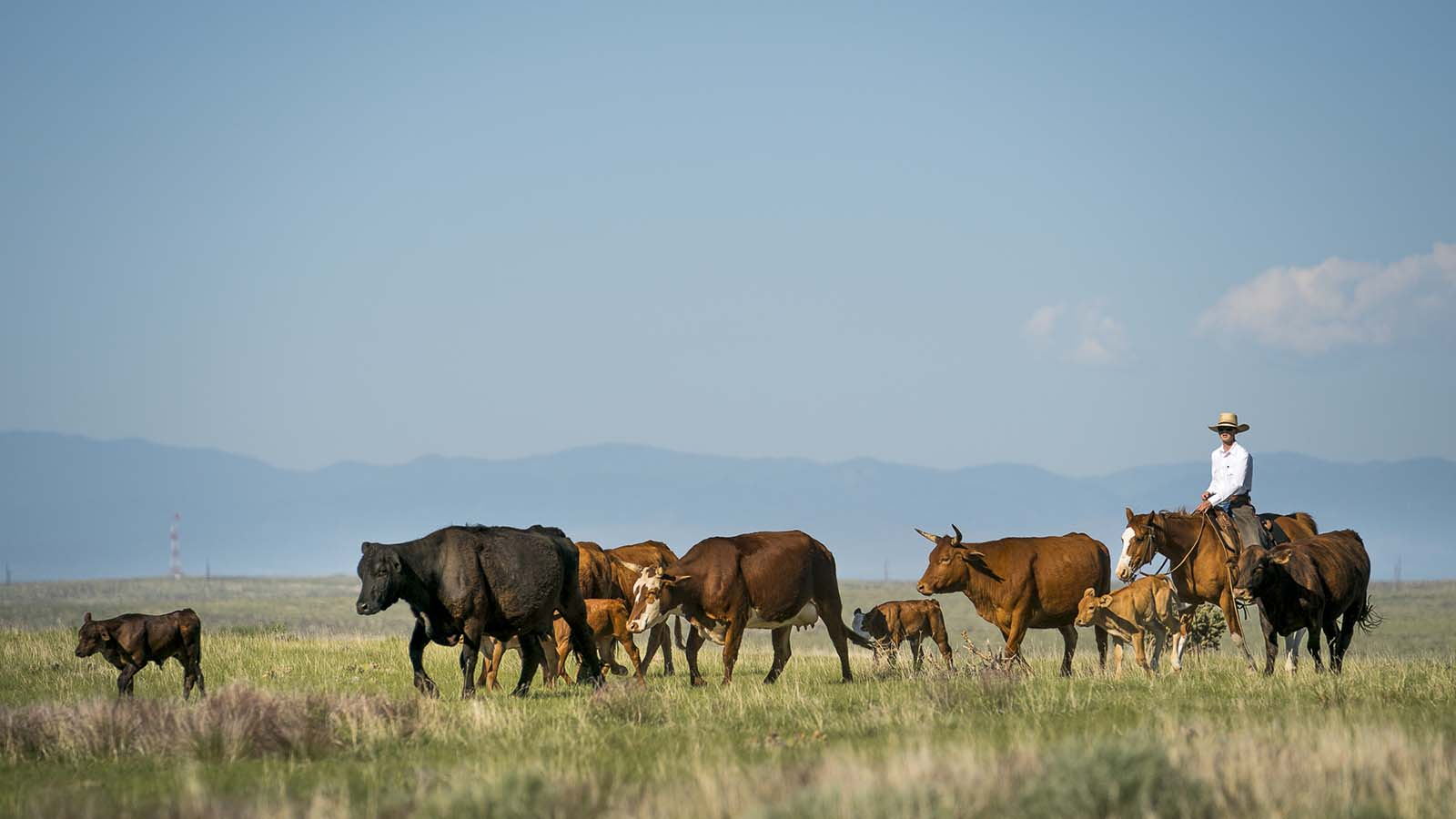 A cowboy moves cattle horseback at Chico Basin Ranch in Colorado.