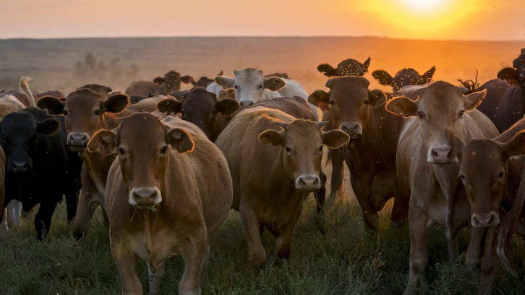 Chico basin donates beef from its ranch to families during the pandemic.