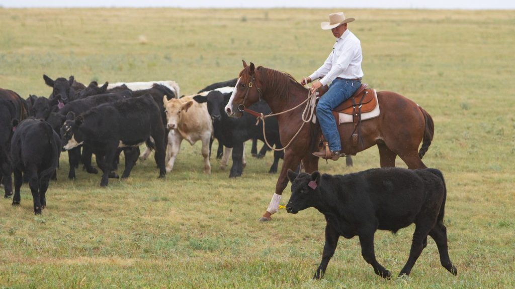 Trevor Carter works a cow horseback on the ranch.