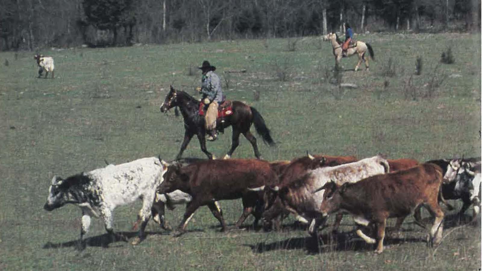 Twin Pines Ranch herding corriente cattle