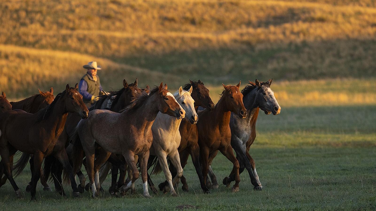 Haythorn land & cattle remuda running