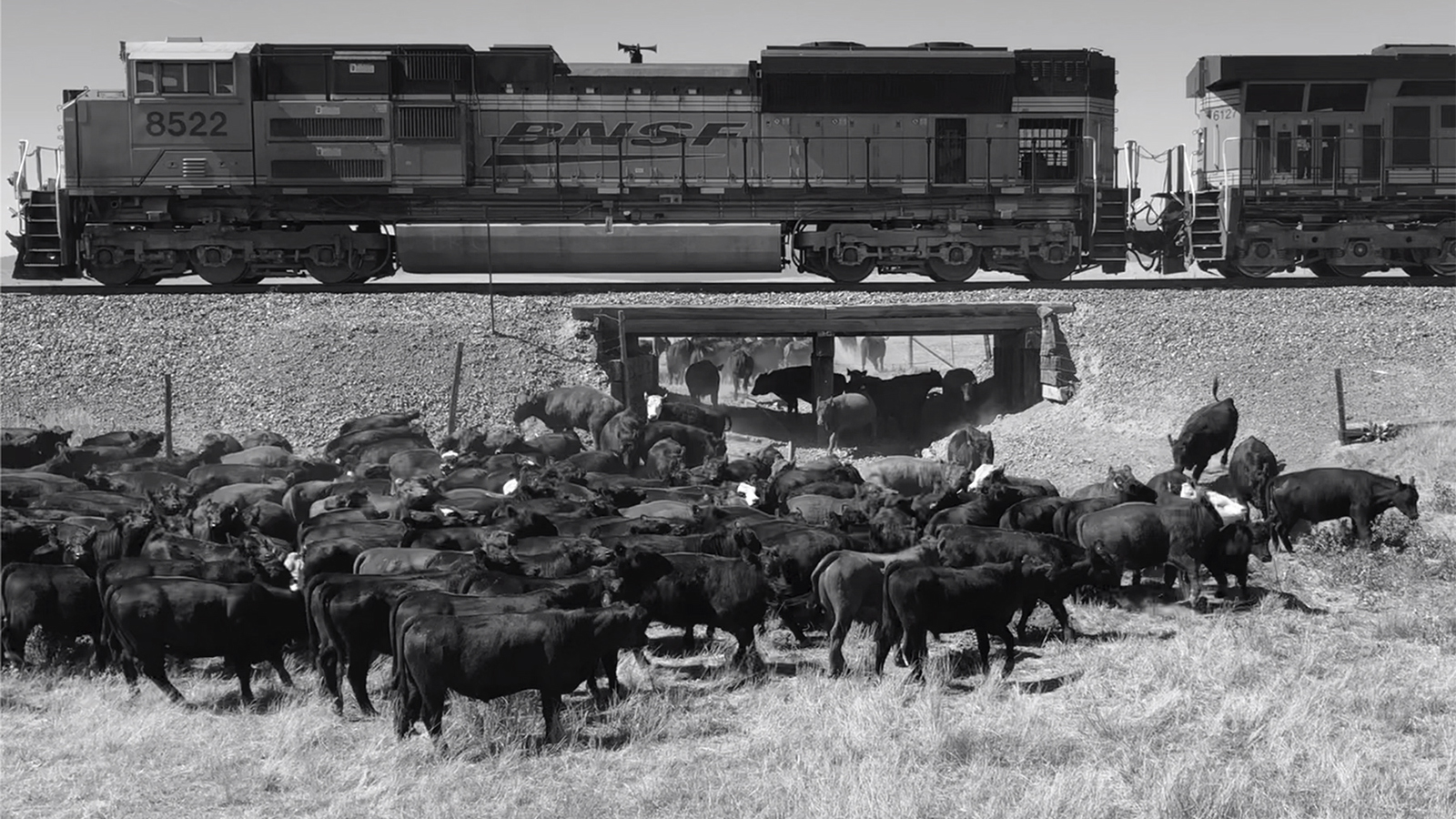 Moving cattle under a railroad crossing