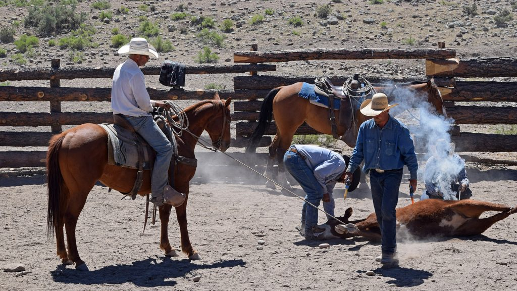 "cowboys work cattle even with a ""man cold."""