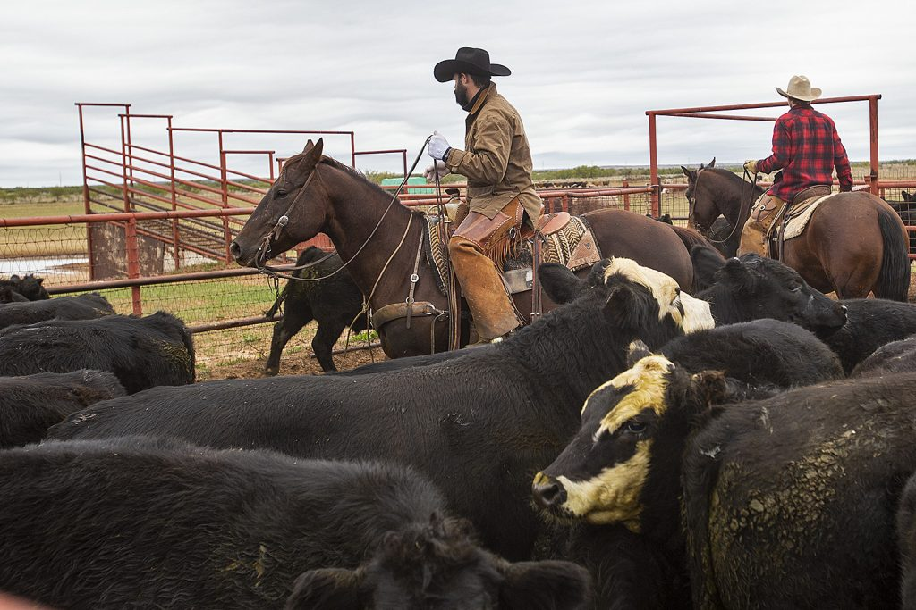 Cowboys work cattle horseback just as brothers Roy and Wade Reid in the early 1900s.