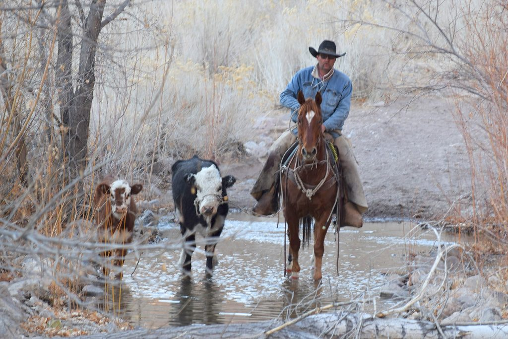 Catching wild cattle