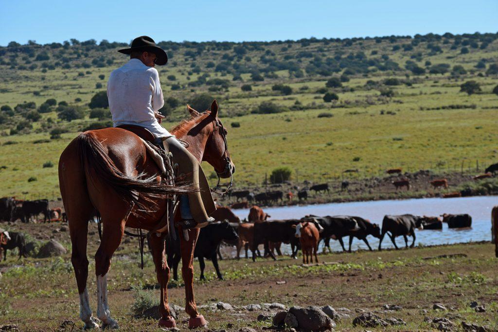 Cowboy tending cattle