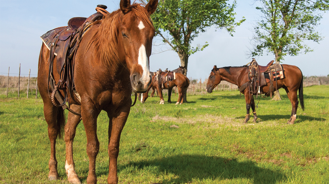 Horses standing hobbled in a pasture.