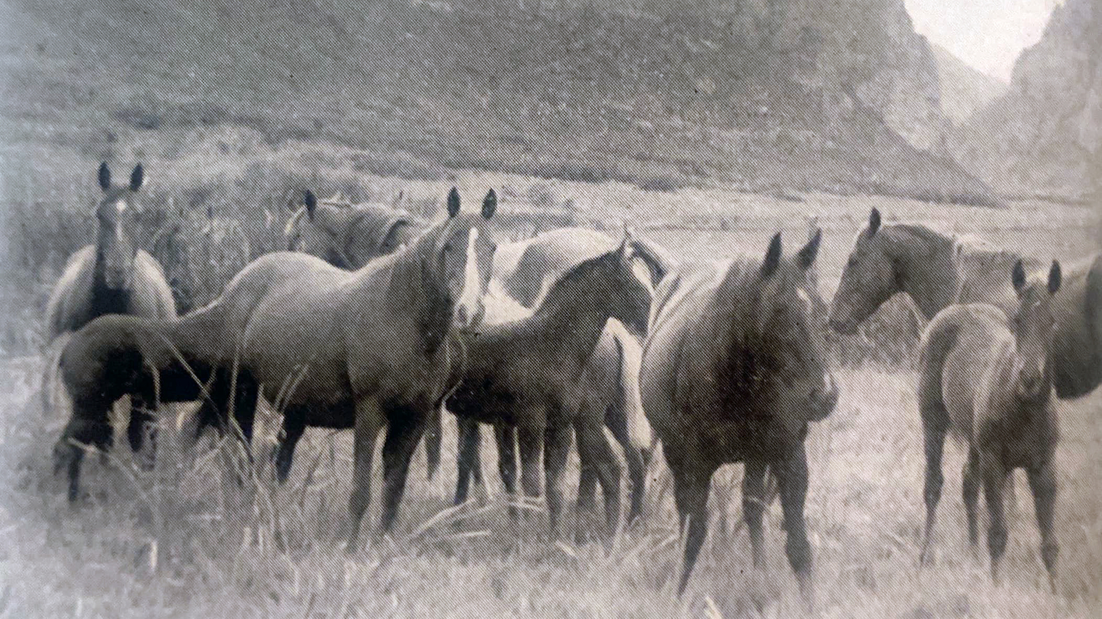 Steeldust Quarter horse stallion and mares